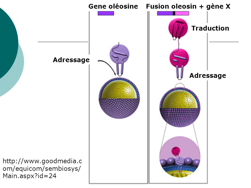 Gene oléosineFusion oleosin + gène X Adressage Traduction http://www.goodmedia.c om/equicom/sembiosys/ Main.aspx?id=24