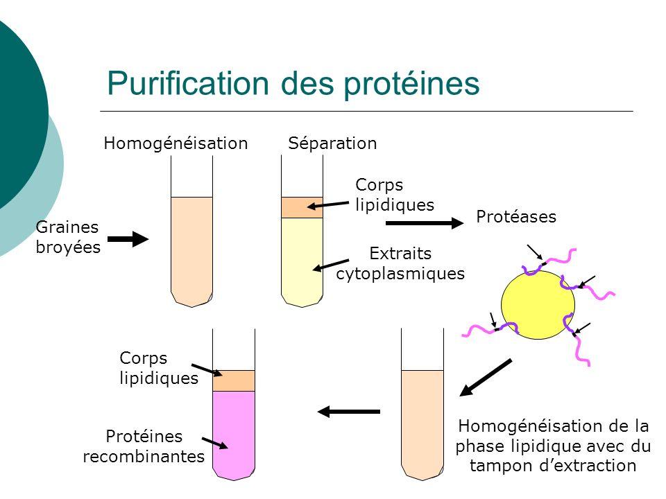 Purification des protéines Corps lipidiques Extraits cytoplasmiques HomogénéisationSéparation Graines broyées Protéases Homogénéisation de la phase li
