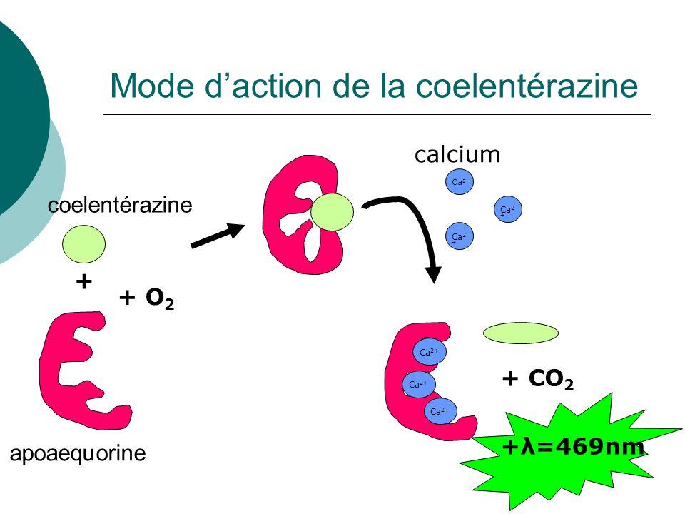 Ca 2+ coelentérazine apoaequorine + + O 2 Ca 2+ + CO 2 +λ=469nm calcium Mode daction de la coelentérazine