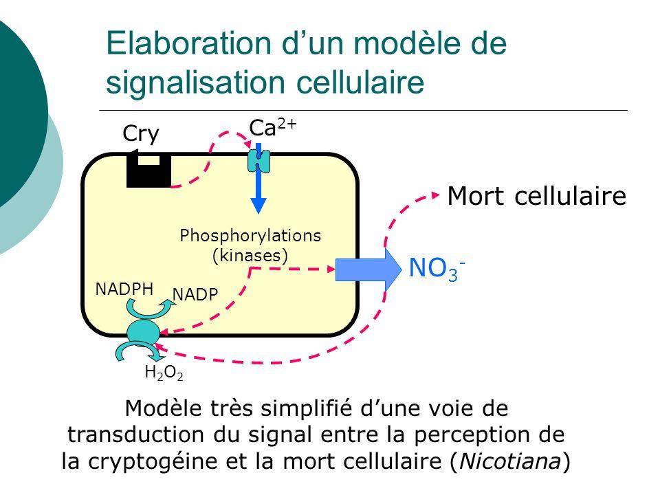 Elaboration dun modèle de signalisation cellulaire Modèle très simplifié dune voie de transduction du signal entre la perception de la cryptogéine et la mort cellulaire (Nicotiana) Cry Ca 2+ Phosphorylations (kinases) NO 3 - NADPH NADP H2O2H2O2 Mort cellulaire