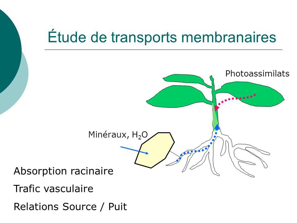 Étude de transports membranaires Minéraux, H 2 O Absorption racinaire Trafic vasculaire Relations Source / Puit Photoassimilats
