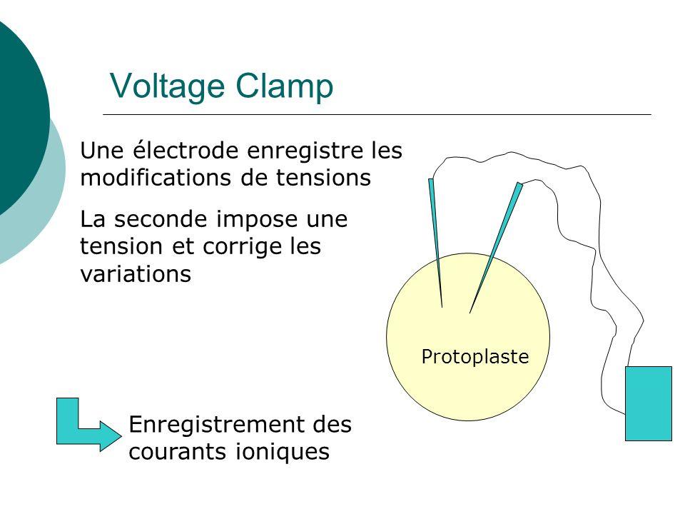Voltage Clamp Une électrode enregistre les modifications de tensions La seconde impose une tension et corrige les variations Protoplaste Enregistrement des courants ioniques