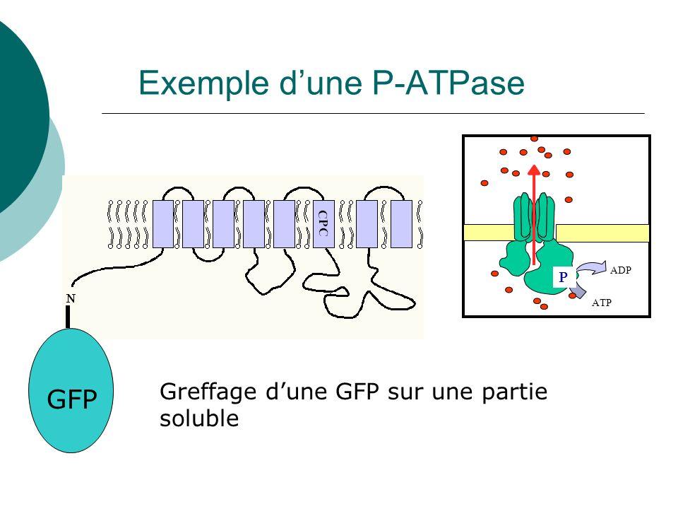 Exemple dune P-ATPase ATP ADP P GFP Greffage dune GFP sur une partie soluble