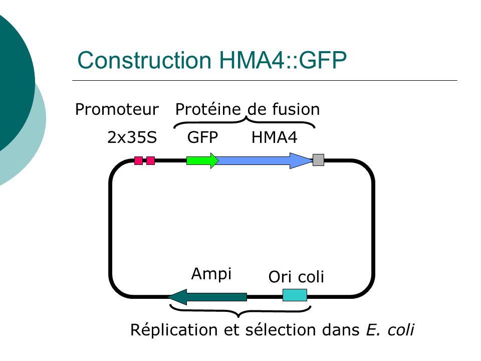 Construction HMA4::GFP HMA4GFP2x35S Ori coli Ampi Réplication et sélection dans E.