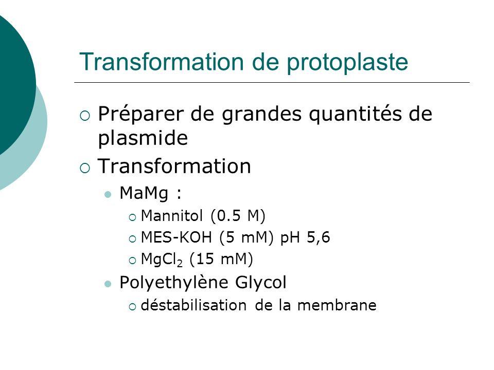 Transformation de protoplaste Préparer de grandes quantités de plasmide Transformation MaMg : Mannitol (0.5 M) MES-KOH (5 mM) pH 5,6 MgCl 2 (15 mM) Polyethylène Glycol déstabilisation de la membrane