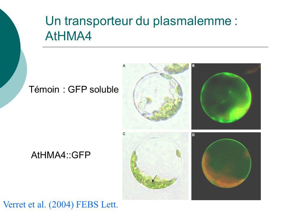 Un transporteur du plasmalemme : AtHMA4 Témoin : GFP soluble AtHMA4::GFP Verret et al.