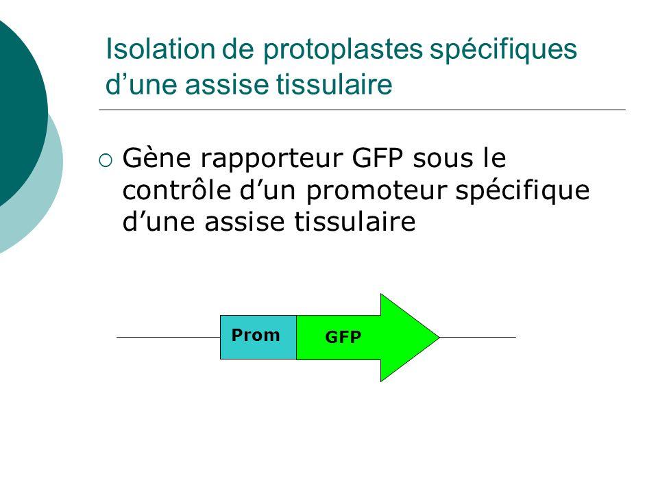 Isolation de protoplastes spécifiques dune assise tissulaire Gène rapporteur GFP sous le contrôle dun promoteur spécifique dune assise tissulaire Prom GFP