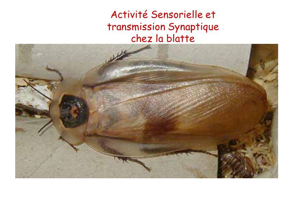 Activité Sensorielle et transmission Synaptique chez la blatte