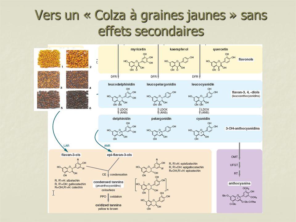 Vers un « Colza à graines jaunes » sans effets secondaires