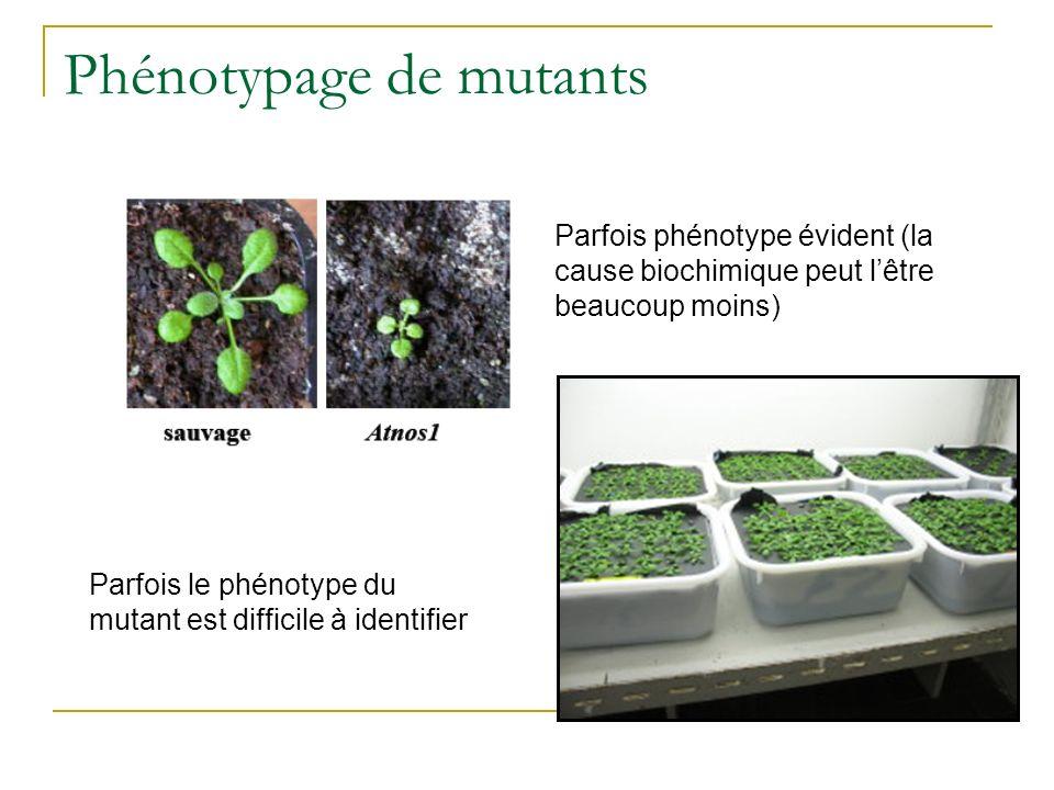 Phénotypage de mutants Parfois phénotype évident (la cause biochimique peut lêtre beaucoup moins) Parfois le phénotype du mutant est difficile à identifier