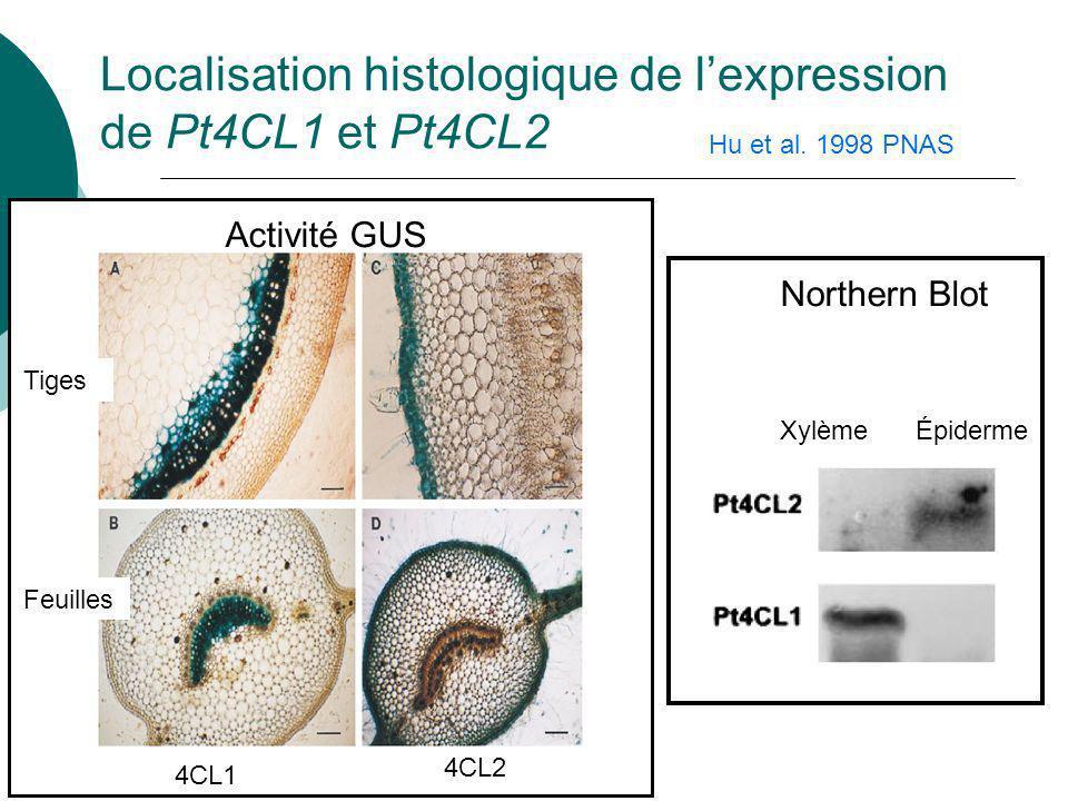 Pt4CL2 Pt4CL1 Spécificités de substrat des deux isoformes de la 4-coumarate:CoA ligase
