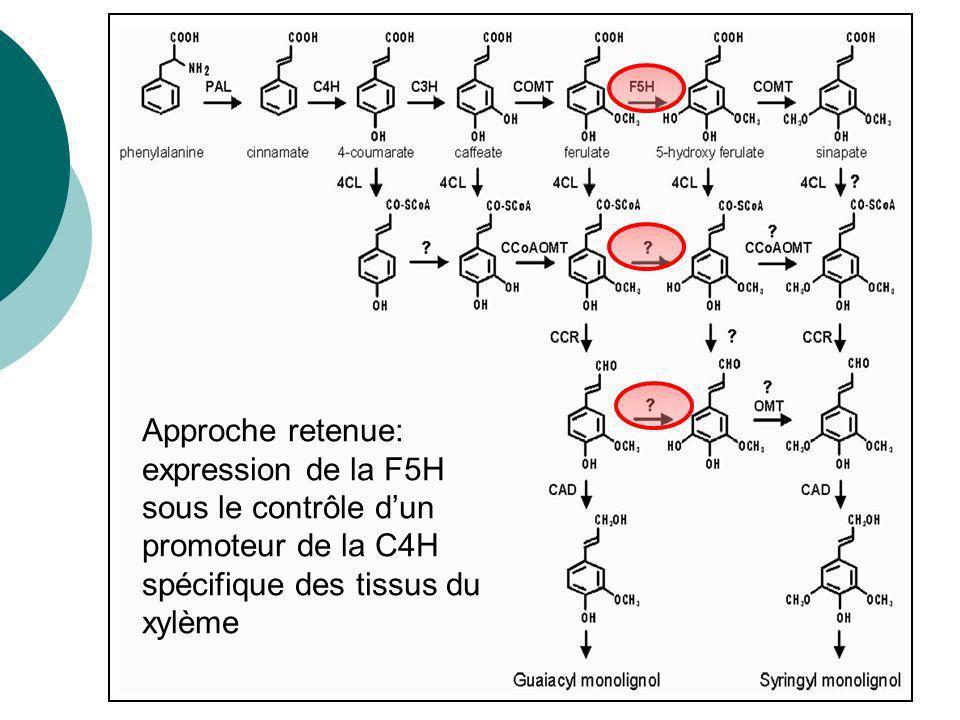 La lignine : un polymère dunités phénylpropanoïdes Liaison moins résistante : procédé de fabrication du papier plus facile Lorsque la position 5 est disponible pour la polymérisation : lignine plus résistante