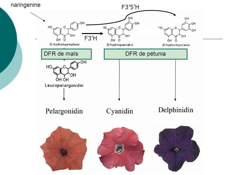 Expression de la DFR de maïs chez le Pétunia 1987 (Nature) Premier succès : obtention de pétunias oranges contenant de la pelargonidine Expression hétérologue dune DFR (dihydroflavonol réductase) de maïs
