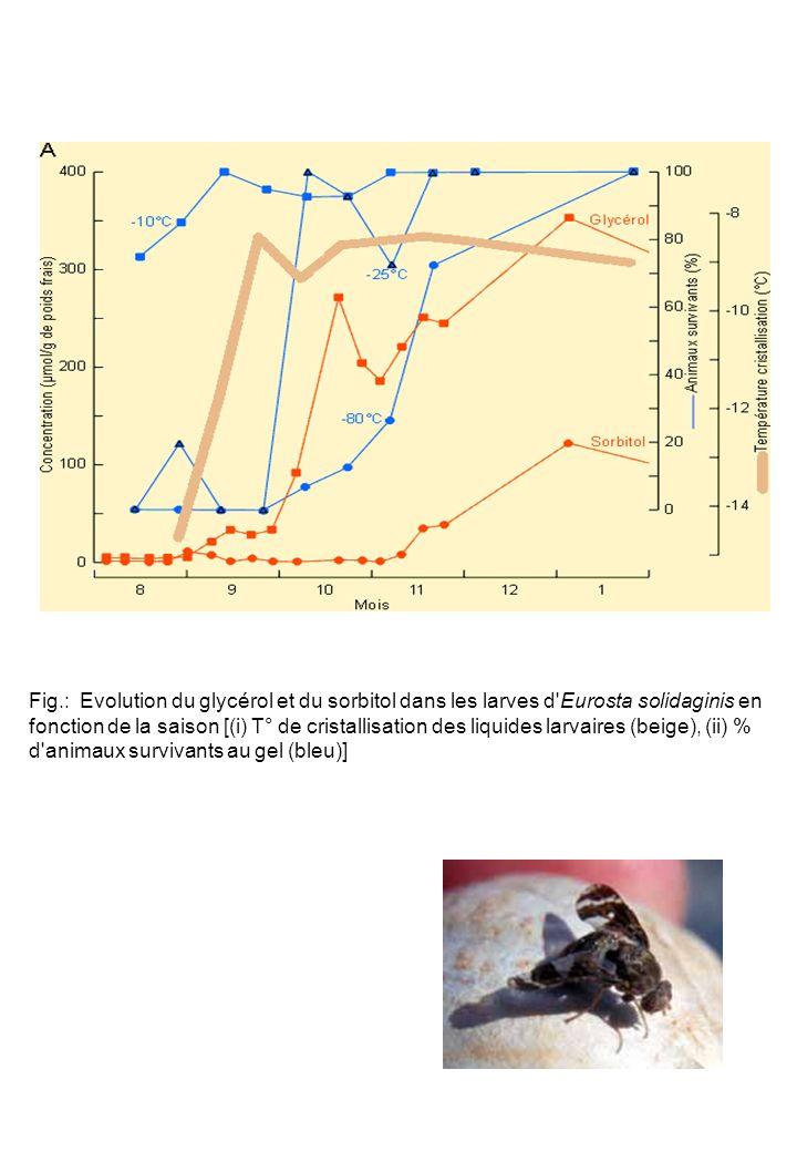 Fig.: Evolution du glycérol et du sorbitol dans les larves d'Eurosta solidaginis en fonction de la saison [(i) T° de cristallisation des liquides larv