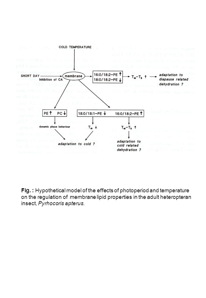 Fig. : Hypothetical model of the effects of photoperiod and temperature on the regulation of membrane lipid properties in the adult heteropteran insec