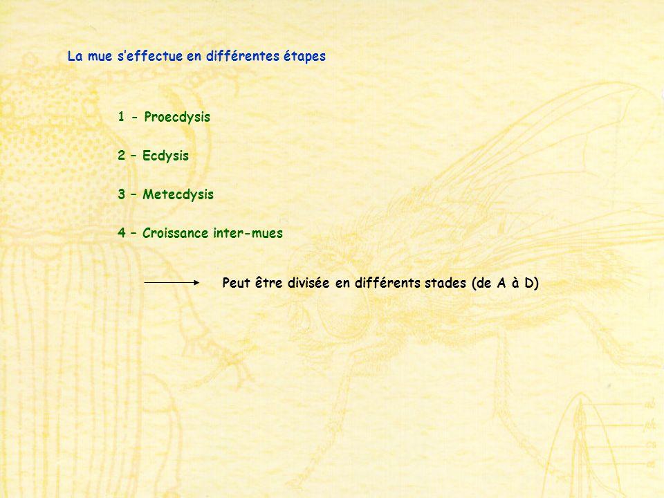 La mue seffectue en différentes étapes 1 - Proecdysis 2 – Ecdysis 3 – Metecdysis 4 – Croissance inter-mues Peut être divisée en différents stades (de A à D)