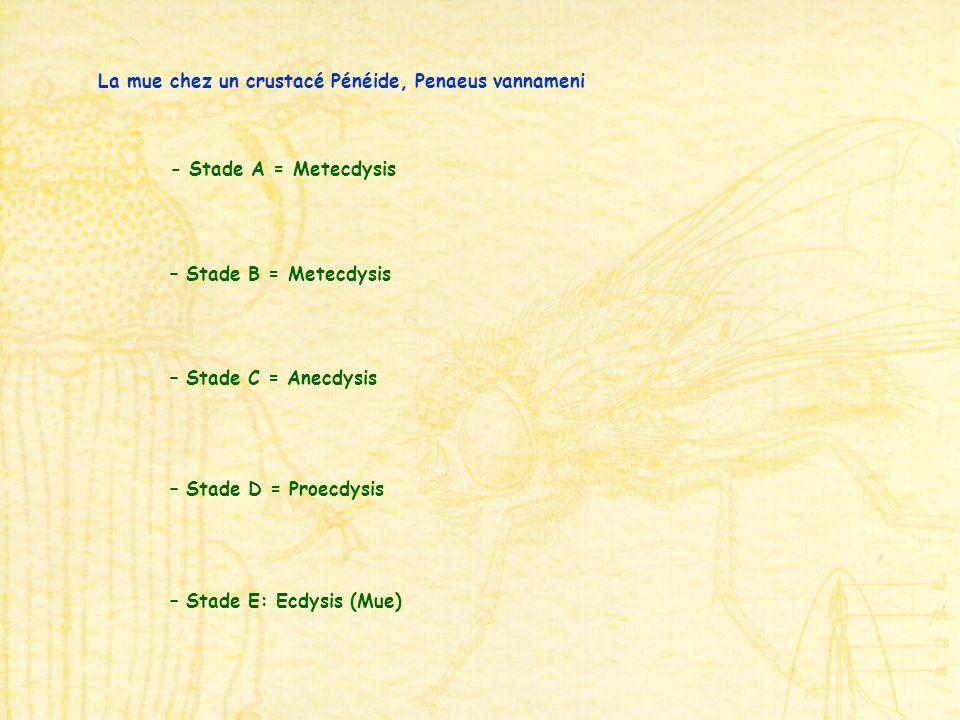 - Stade A = Metecdysis – Stade B = Metecdysis – Stade C = Anecdysis – Stade D = Proecdysis – Stade E: Ecdysis (Mue) La mue chez un crustacé Pénéide, Penaeus vannameni