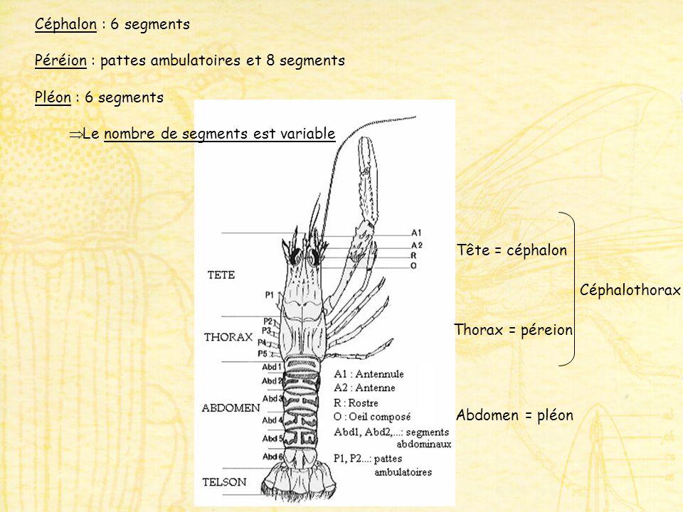 Tête = céphalon Thorax = péreion Abdomen = pléon Céphalothorax Céphalon : 6 segments Péréion : pattes ambulatoires et 8 segments Pléon : 6 segments Le nombre de segments est variable