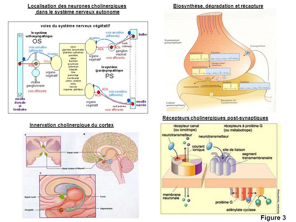 Localisation des neurones cholinergiques dans le système nerveux autonome Innervation cholinergique du cortex Biosynthèse, dégradation et récapture Ré