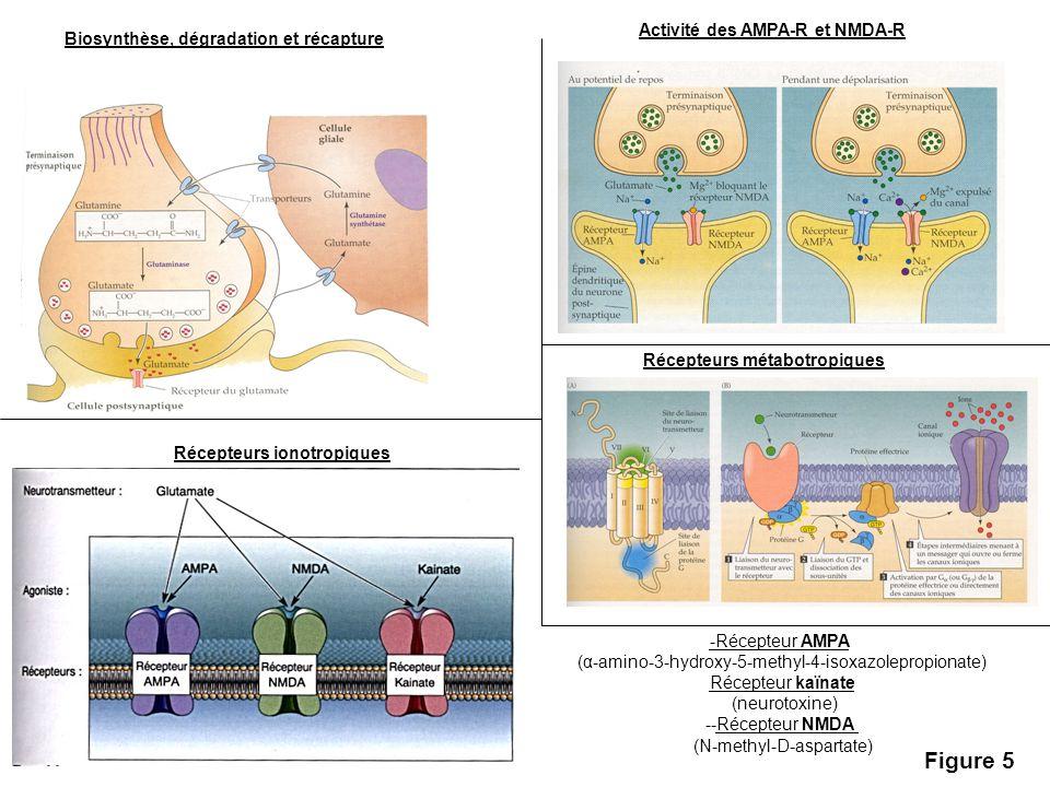 Biosynthèse, dégradation et récapture Activité des AMPA-R et NMDA-R Récepteurs métabotropiques Récepteurs ionotropiques -Récepteur AMPA (α-amino-3-hyd