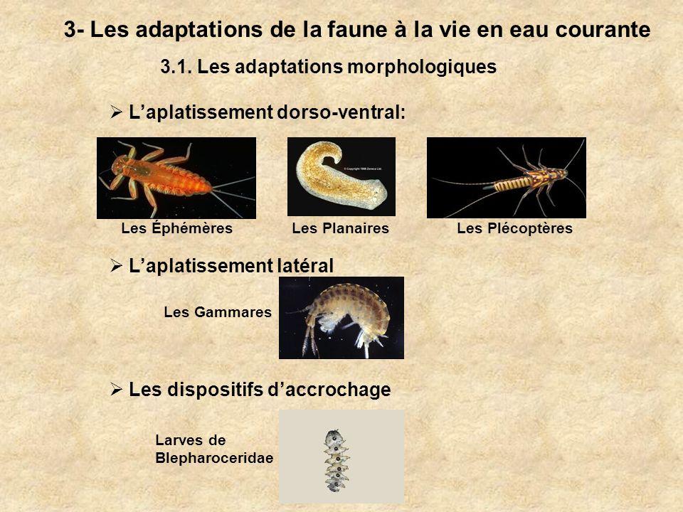 3- Les adaptations de la faune à la vie en eau courante 3.1. Les adaptations morphologiques Laplatissement dorso-ventral: Laplatissement latéral Les G