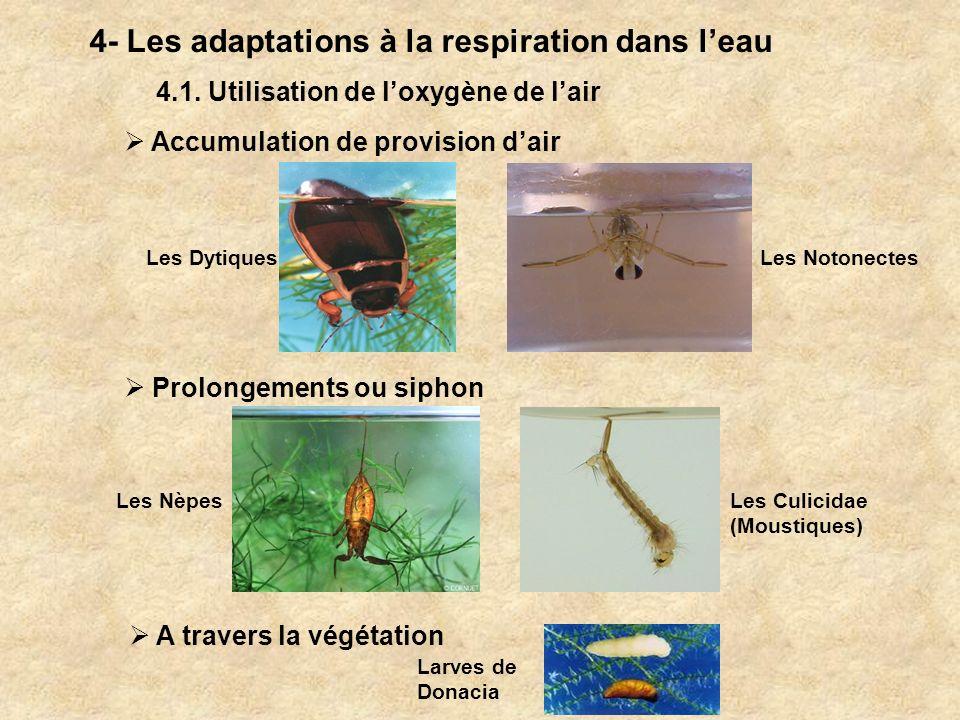 4- Les adaptations à la respiration dans leau 4.1. Utilisation de loxygène de lair Prolongements ou siphon A travers la végétation Accumulation de pro