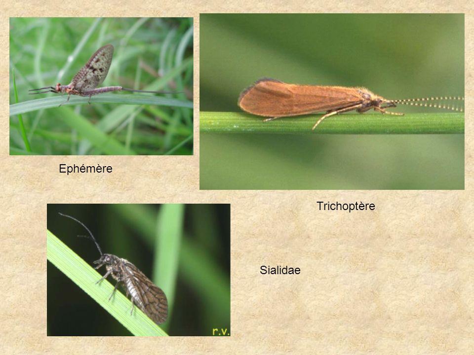 Sialidae Ephémère Trichoptère