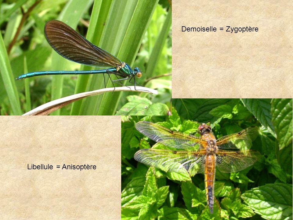 Demoiselle = Zygoptère Libellule = Anisoptère