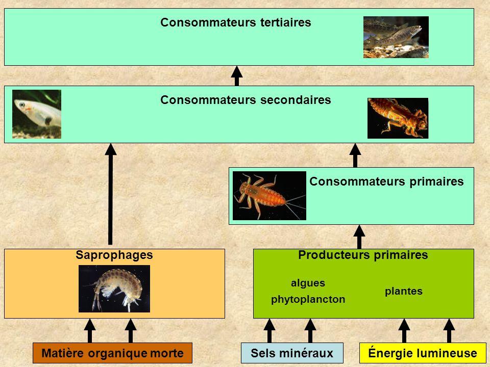 Sels minérauxMatière organique morteÉnergie lumineuse Producteurs primairesSaprophages algues phytoplancton plantes Consommateurs primairesConsommateu