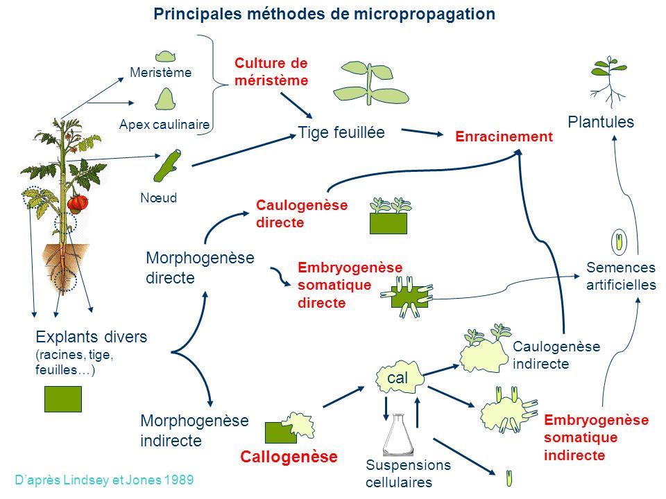 Meristème Apex caulinaire Nœud Culture de méristème Enracinement Plantules Tige feuillée Morphogenèse indirecte Callogenèse cal Suspensions cellulaire