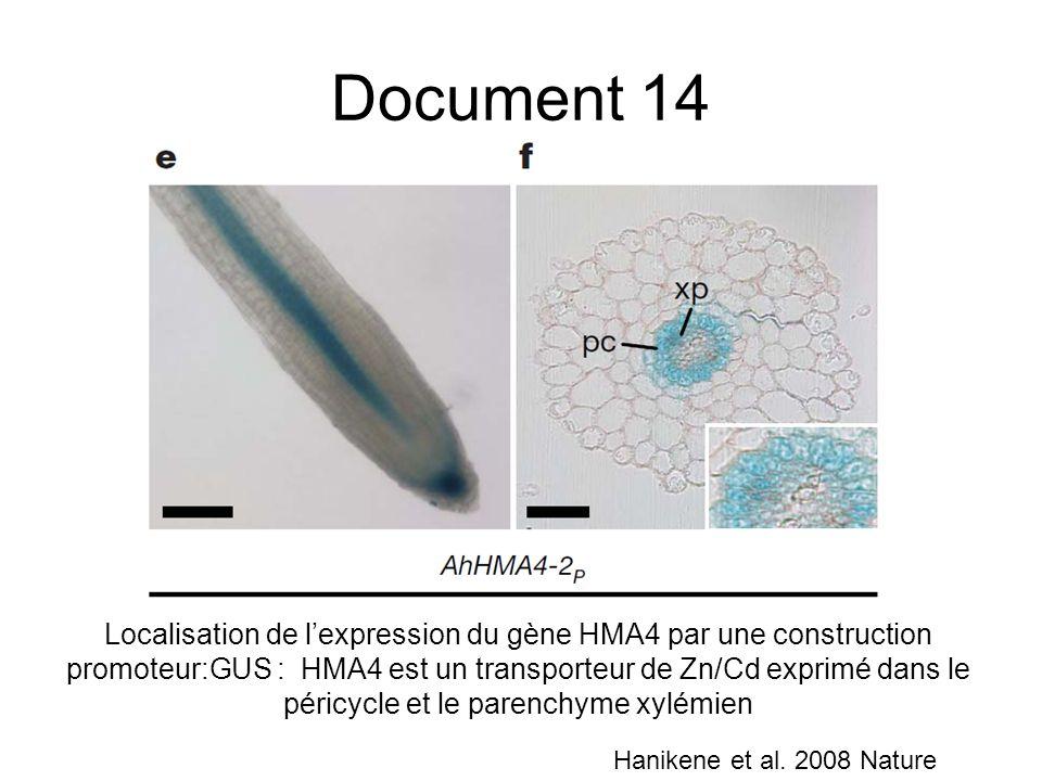 Localisation de lexpression du gène HMA4 par une construction promoteur:GUS : HMA4 est un transporteur de Zn/Cd exprimé dans le péricycle et le parenc