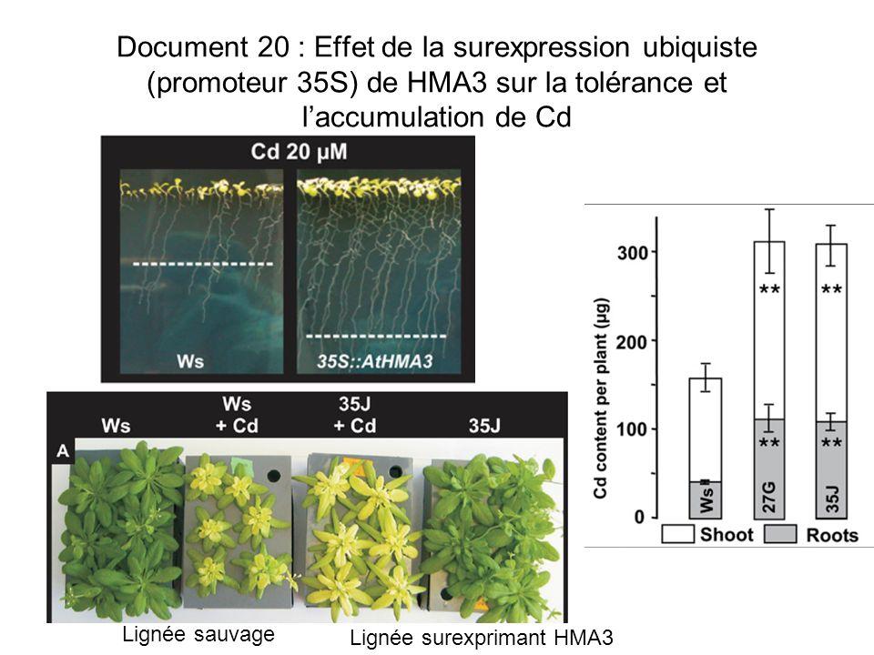 Document 20 : Effet de la surexpression ubiquiste (promoteur 35S) de HMA3 sur la tolérance et laccumulation de Cd Lignée sauvage Lignée surexprimant H
