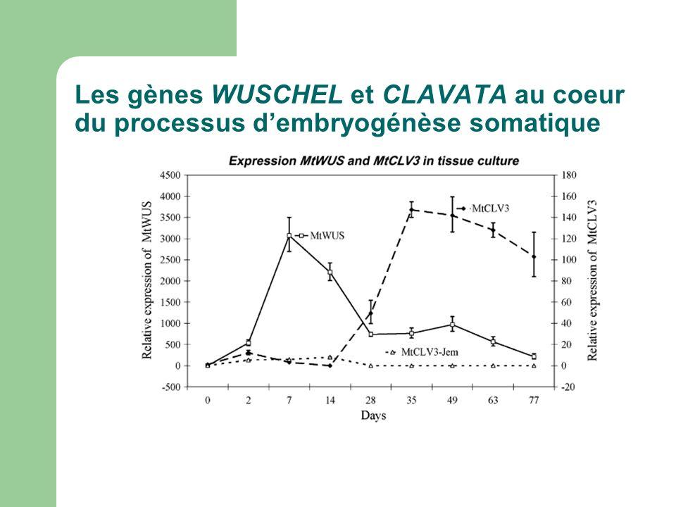 Les gènes WUSCHEL et CLAVATA au coeur du processus dembryogénèse somatique