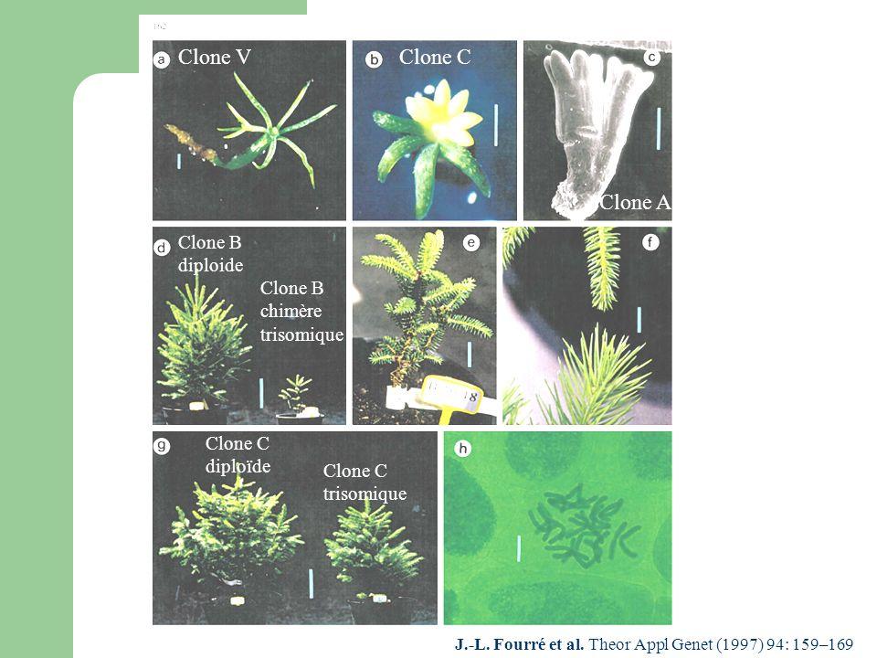 J.-L. Fourré et al. Theor Appl Genet (1997) 94: 159–169 Clone VClone C Clone A Clone B diploide Clone B chimère trisomique Clone C diploïde Clone C tr