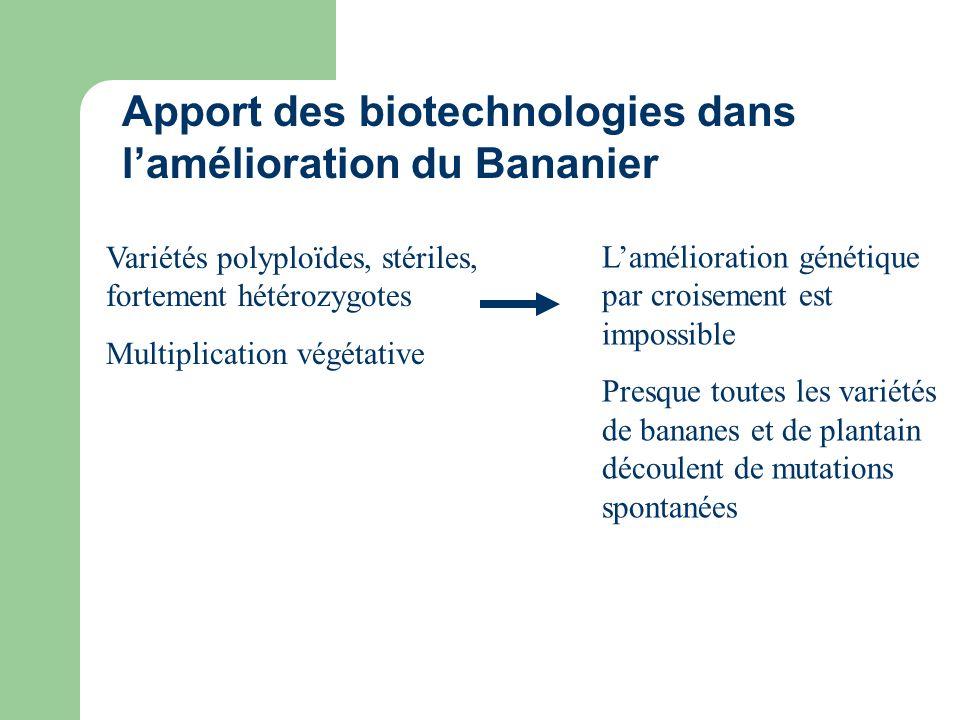Variétés polyploïdes, stériles, fortement hétérozygotes Multiplication végétative Apport des biotechnologies dans lamélioration du Bananier Laméliorat