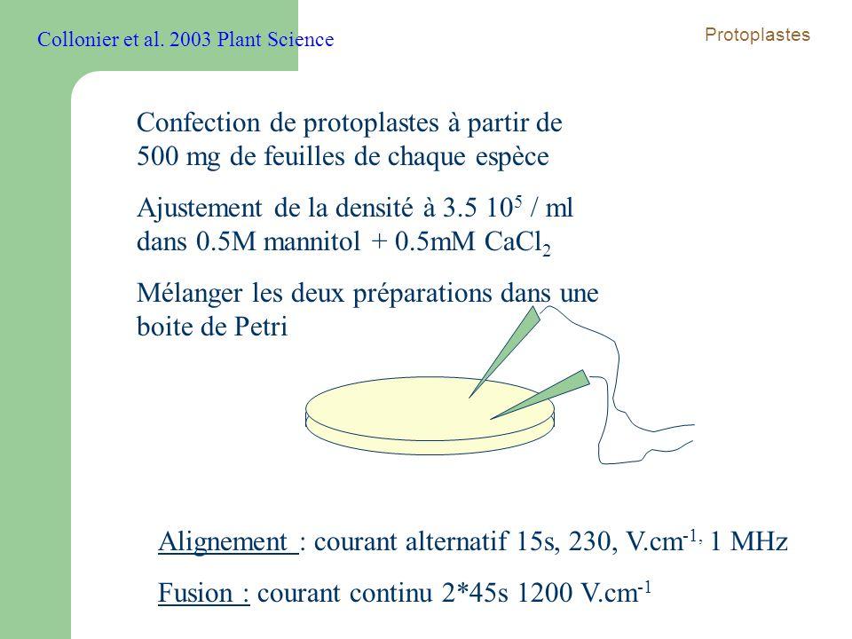 Confection de protoplastes à partir de 500 mg de feuilles de chaque espèce Ajustement de la densité à 3.5 10 5 / ml dans 0.5M mannitol + 0.5mM CaCl 2