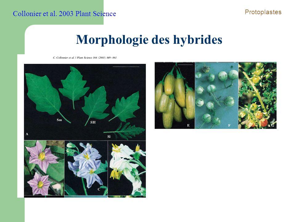 Morphologie des hybrides Collonier et al. 2003 Plant Science Protoplastes