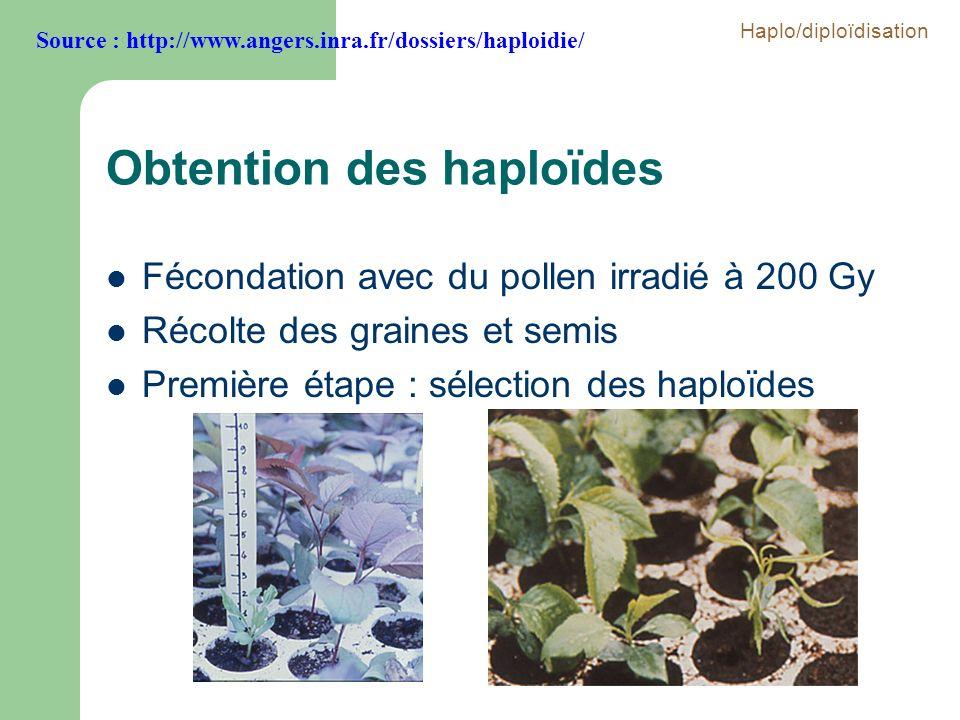 Obtention des haploïdes Fécondation avec du pollen irradié à 200 Gy Récolte des graines et semis Première étape : sélection des haploïdes Source : htt