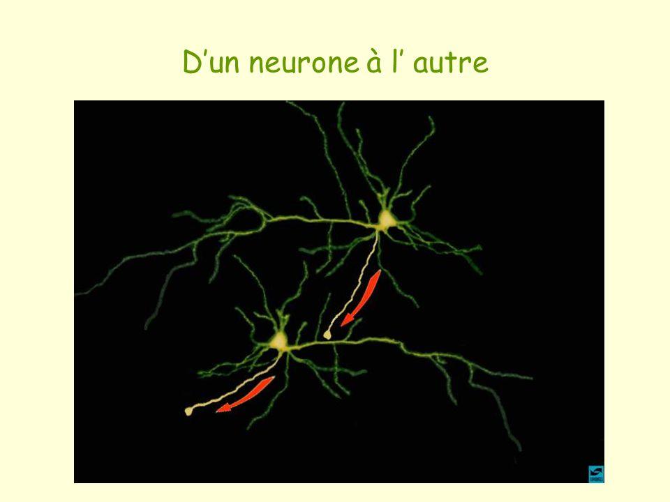 Dun neurone à l autre