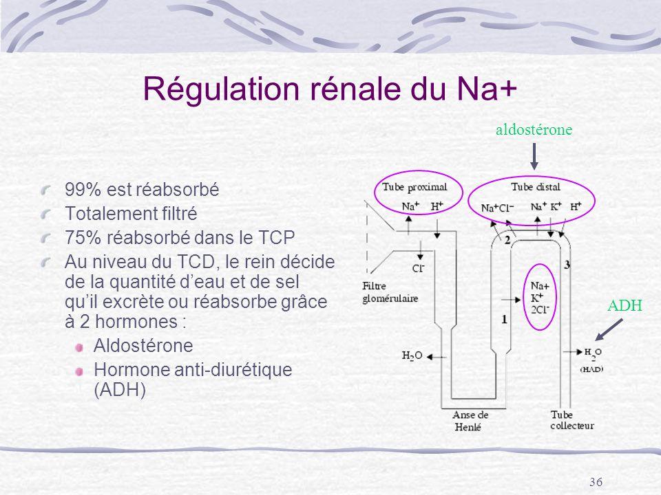 36 Régulation rénale du Na+ 99% est réabsorbé Totalement filtré 75% réabsorbé dans le TCP Au niveau du TCD, le rein décide de la quantité deau et de s