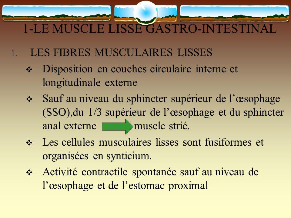 1-LE MUSCLE LISSE GASTRO-INTESTINAL 1. LES FIBRES MUSCULAIRES LISSES Disposition en couches circulaire interne et longitudinale externe Sauf au niveau