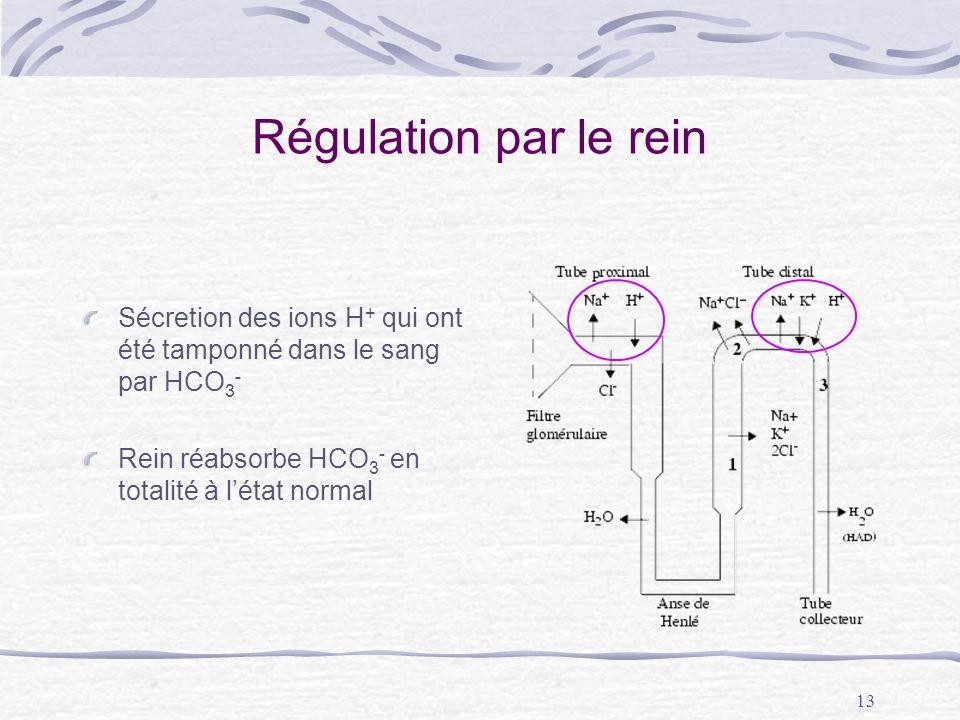 13 Régulation par le rein Sécretion des ions H + qui ont été tamponné dans le sang par HCO 3 - Rein réabsorbe HCO 3 - en totalité à létat normal