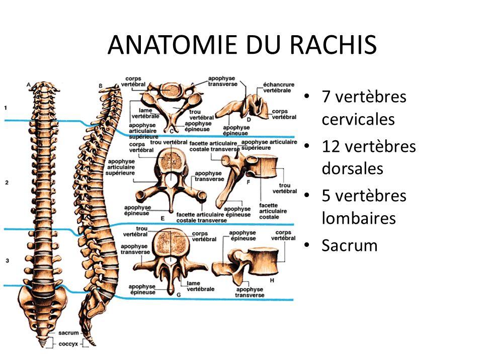 ANATOMIE DU RACHIS 7 vertèbres cervicales 12 vertèbres dorsales 5 vertèbres lombaires Sacrum