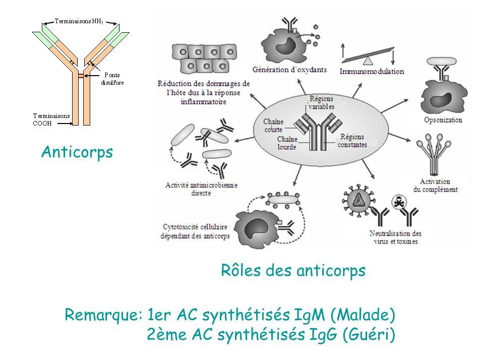 Anticorps Rôles des anticorps Remarque: 1er AC synthétisés IgM (Malade) 2ème AC synthétisés IgG (Guéri)