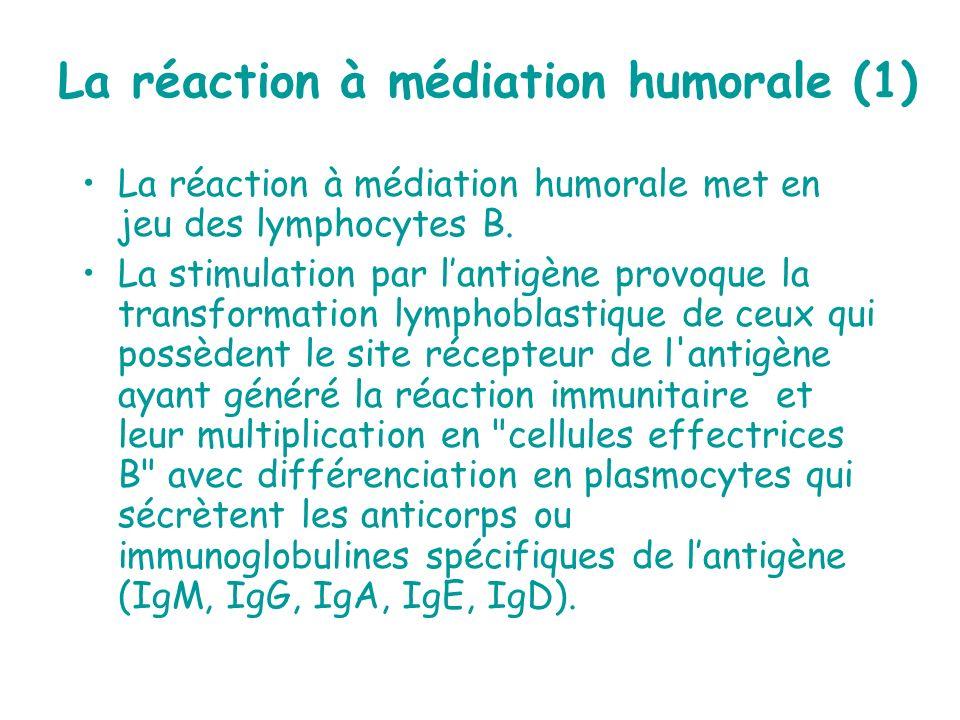 La réaction à médiation humorale (1) La réaction à médiation humorale met en jeu des lymphocytes B. La stimulation par lantigène provoque la transform