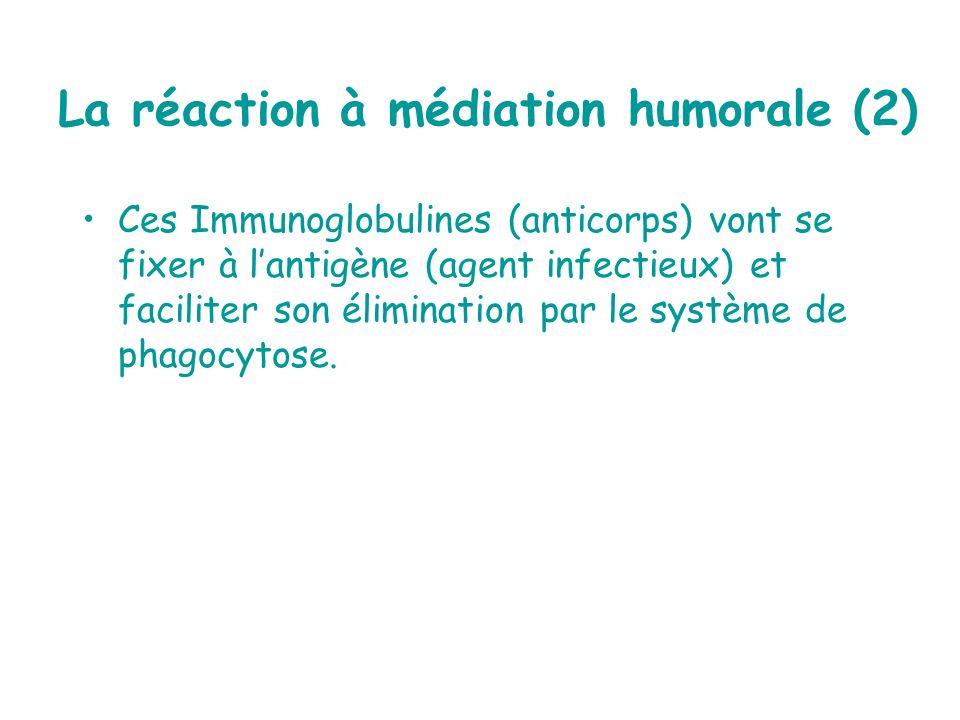 Ces Immunoglobulines (anticorps) vont se fixer à lantigène (agent infectieux) et faciliter son élimination par le système de phagocytose. La réaction