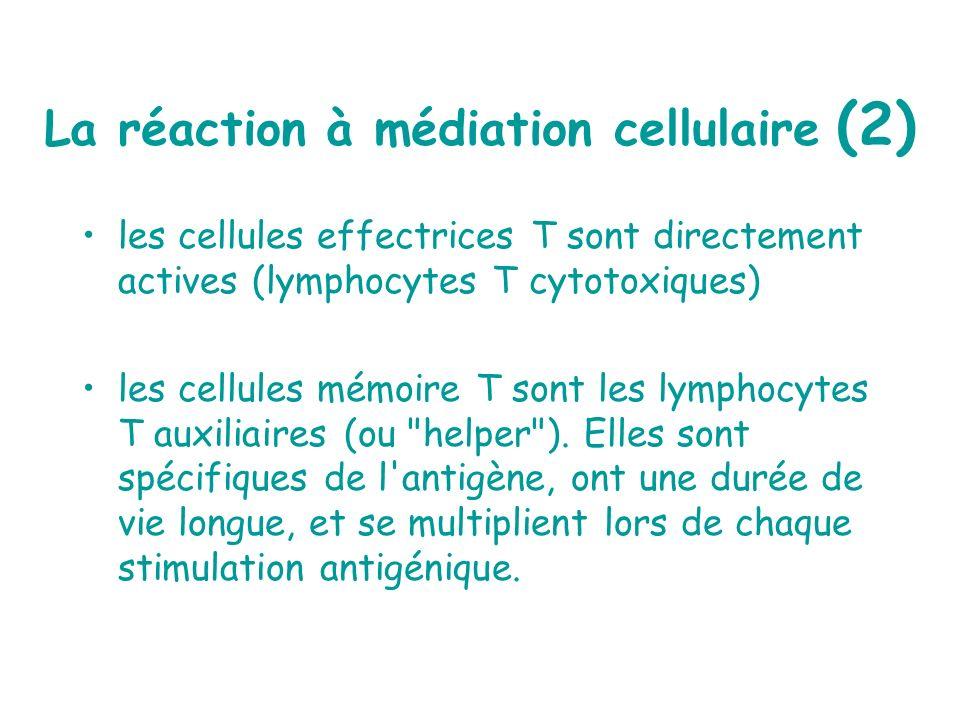 La réaction à médiation cellulaire (2) les cellules effectrices T sont directement actives (lymphocytes T cytotoxiques) les cellules mémoire T sont le