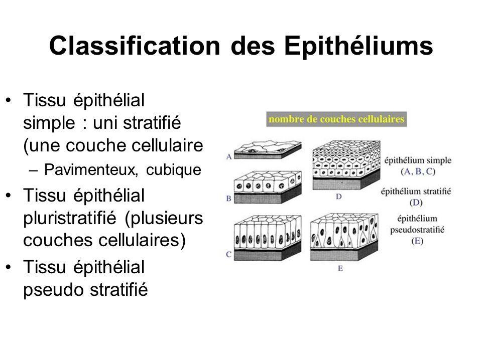 Classification des Epithéliums Tissu épithélial simple : uni stratifié (une couche cellulaire –Pavimenteux, cubique Tissu épithélial pluristratifié (p