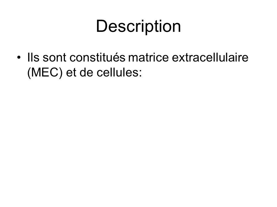 Description Ils sont constitués matrice extracellulaire (MEC) et de cellules: