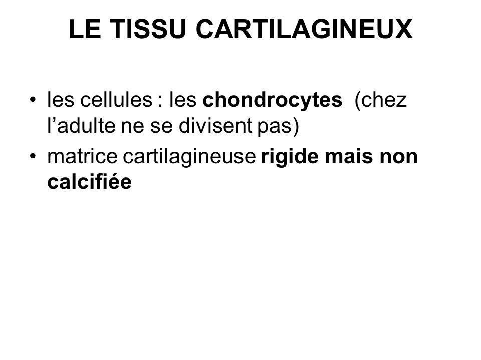 LE TISSU CARTILAGINEUX les cellules : les chondrocytes (chez ladulte ne se divisent pas) matrice cartilagineuse rigide mais non calcifiée